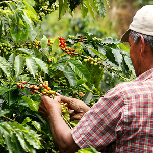 Medium coffee picking colombia farm
